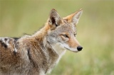 What is Beach Coyote Coalition?